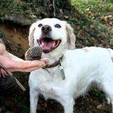 Как да обучим кучето си да търси трюфели?